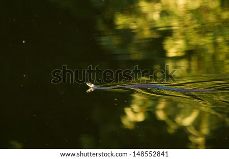 Natrix natrix snake in water of lake. Shallow DOF - stock photo