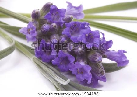 natulal essence - lavender - stock photo