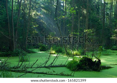 Natural alder-carr stand of Bialowieza Forest with standing water and Common Duckweed on surface, in morning - stock photo