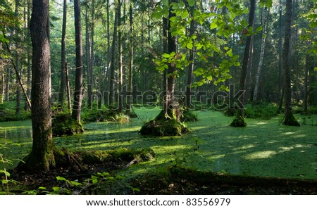 Natural alder-carr stand of Bialowieza Forest with standing water and Common Duckweed on surface, in morning