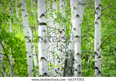 Natural background - a summer birchwood - stock photo