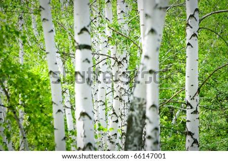 Natural background - a summer birchwood - stock photo