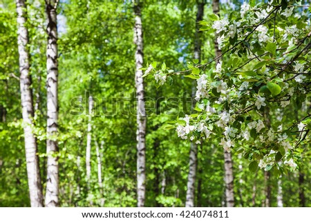 natural background - cherry tree twigs with white flowers and defocused birch trees on background in green spring forest - stock photo