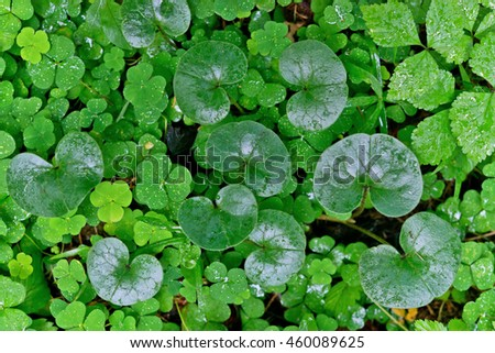 Natural background foliage is wet from rain forest herbs. - stock photo