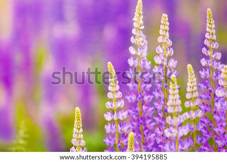 natural background for your design, blooming lupine flowers - stock photo