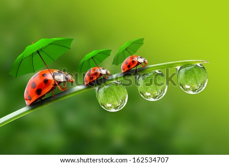 Natural Background From Rainy Season Three Ladybugs With Umbrella Walking On The Grass