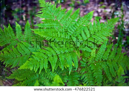 Natural background. Leaves of fern with rain drops in the forest