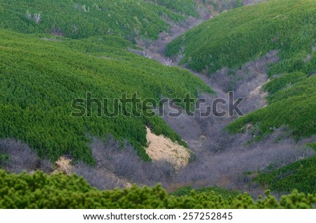 Natural background. Mountain pine on the slopes. Abstract texture of trees - stock photo