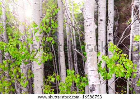 Natural background of aspen tree trunks in a grove with sunlight - stock photo