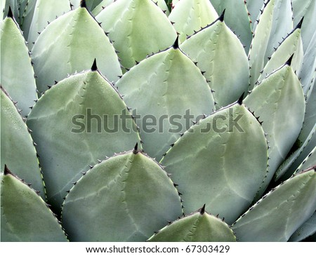 Natural background of succulent echeveria plant with dewdrops - stock photo