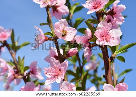 Natural background, peach flowers
