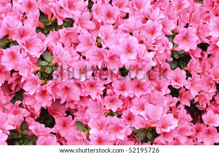 Natural background with flowers of pink azalea - stock photo