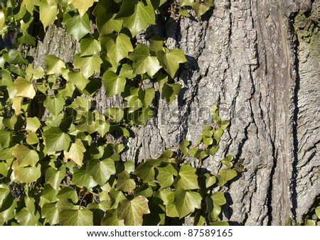 natural background with ivy leaves  on bark - stock photo