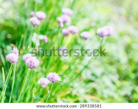 natural background with pink flowers of chives herb on green summer lawn - stock photo