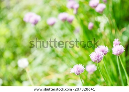 natural background with pink flowers of chives herb on green summer meadow - stock photo