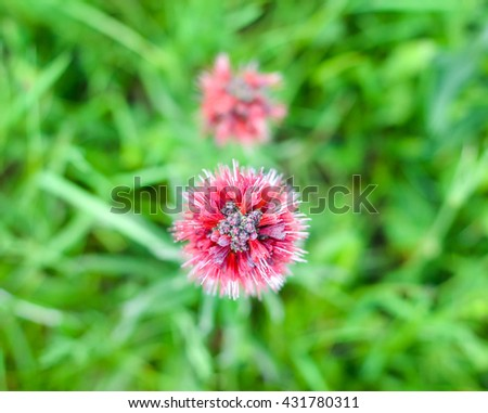 Natural beauty - unusual red meadow flower, with thorn shape of inflorescence, top view - stock photo
