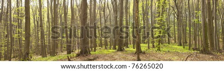 Natural beech forest, spring time - stock photo