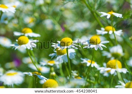 Natural blur green background chamomile field. Selective focus. shallow depth of field. - stock photo