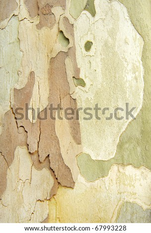 Natural camouflage of tree and peeling wood bark - stock photo