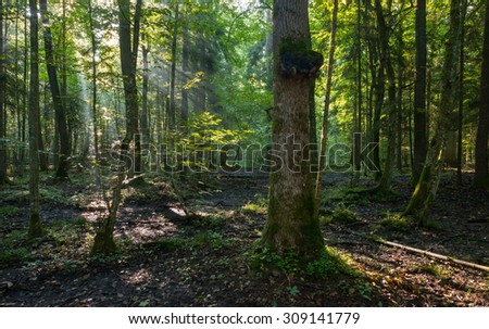 Natural deciduous stand of Bialowieza Forest in summer morning with mist and shaft of sunrise,Bialowieza Forest,Poland,Europe