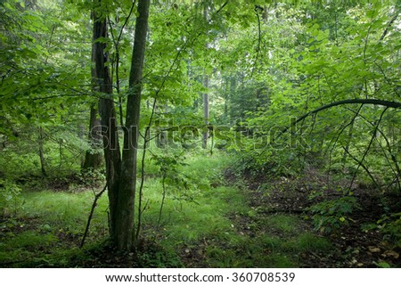 Natural deciduous stand of Bialowieza Forest with lush hornbeam foliage,Bialowieza Forest,Poland,Europe