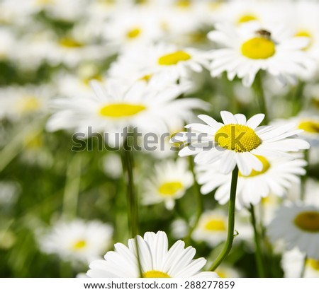 Natural flower background,  big white daisy, local soft focus, shallow DOF.  - stock photo