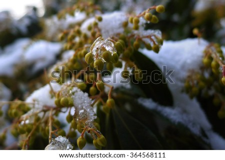 natural flower seed covered by frozen ice closeup macro, after heavy frost snow in winter season - stock photo