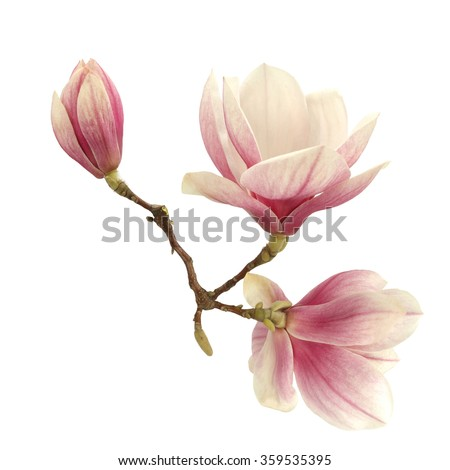 natural flowers of magnolia  - stock photo