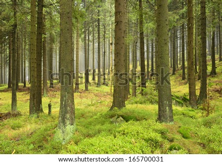 Natural Foggy Spruce Tree Forest