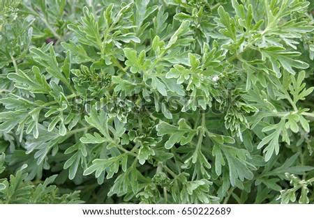 artemisia. natural foliage of the common wormwood artemisia vulgaris as botanic background.