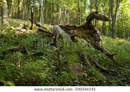 Natural forest environment with dead rotting wood, White Carpathians, Czech Republic.