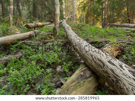 Natural forest in vasterfarnebo national park, dalarna, sweden with a lot of wood, ideal for many insects
