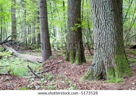 Natural forest nature reserve, wet mixed forest with old alder trees in foreground - stock photo