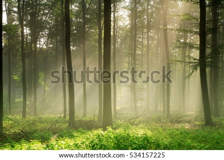 Natural Forest of Beech Trees illuminated by Sunbeams through Fog