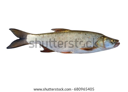 Natural fresh fish on a white background.
