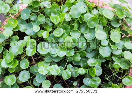 natural fresh Water Pennywort or Centella asiatica leaf - stock photo