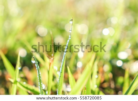 natural grass and water drop in the morning and guttation droplets of water from the pores of plants at tip of leave margin