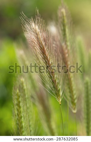 Natural grass seeds heads  - stock photo