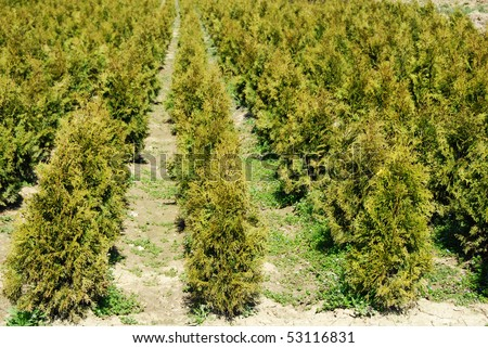 natural green conifer thuja planting garden outdoor - stock photo