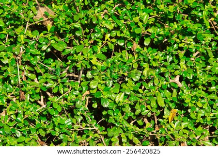 Natural green leaf wall, Texture background - stock photo