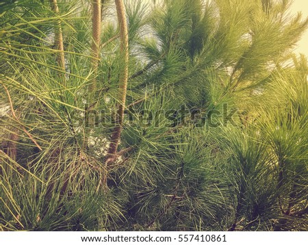 Natural green pine tree background