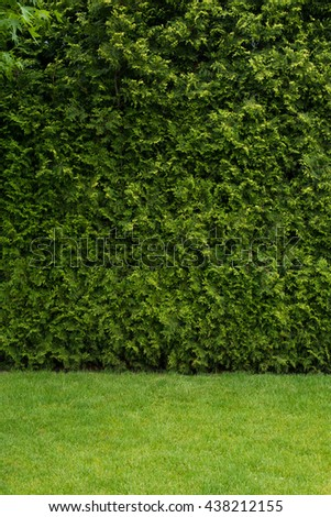 Natural green wall texture. Leaves background. Green fence with green lawn - stock photo