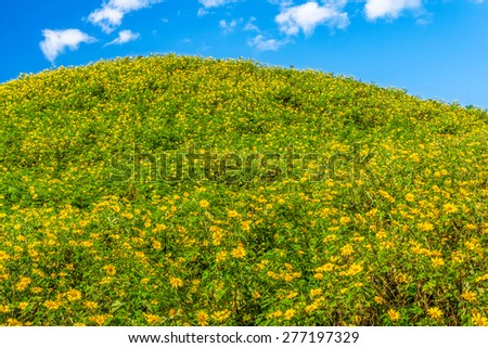 Natural landscape view of Tithonia diversifolia field on mountain and blue sky. This plant is a species of flowering plant in the Asteraceae family. - stock photo