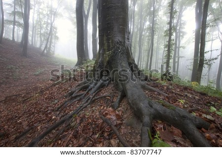 Natural landscape with tree with big roots in a forest with fog - stock photo