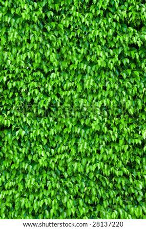Natural leaf background - ficus shrubs - stock photo