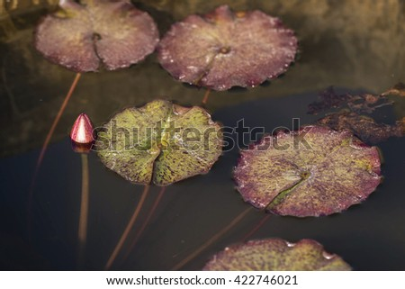 natural lotus flower and leaves  - stock photo