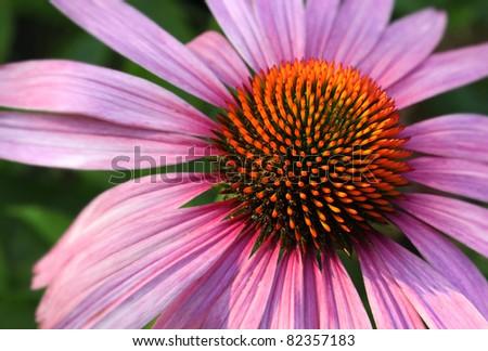 Natural medicine coneflower Echinacea purpurea closeup - stock photo