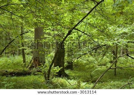 Natural mixed forest in summer,middle europe,poland - stock photo