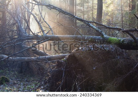 Natural mixed stand of Bialowieza Forest Landscape Reserve in morning with sunlight entering - stock photo