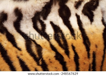 natural pattern on tiger fur, real texture of feline pelt - stock photo